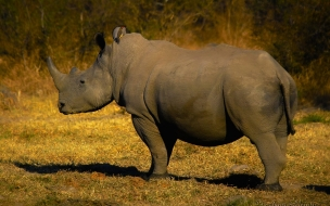 Rinoceronte observando