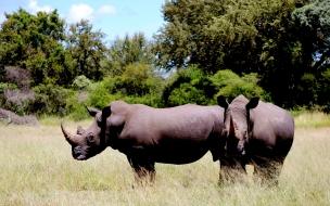 rinocerontes comiendo