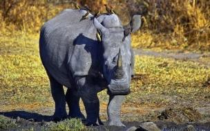 rinoceronte cansado