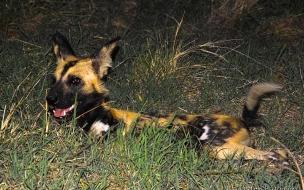 Hiena cazando