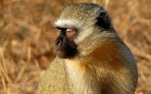 mono dormido