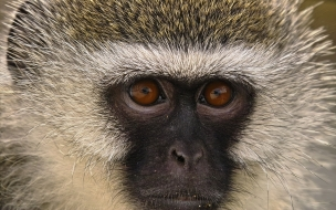mirada de mono