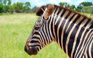 cabeza de zebra