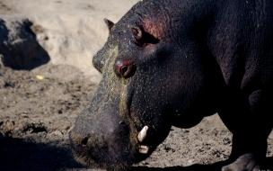 hipopotamo hambriento