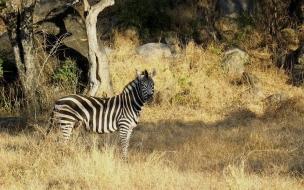 zebra asustada