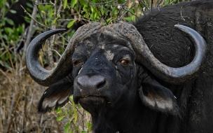 bufalo observando
