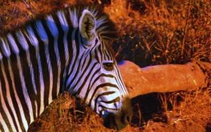 pintura de cabeza de zebra