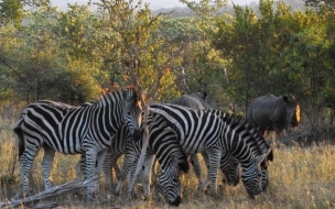 zebras comiendo