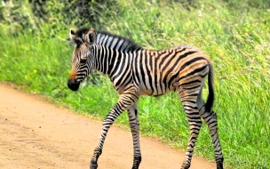 zebra caminando