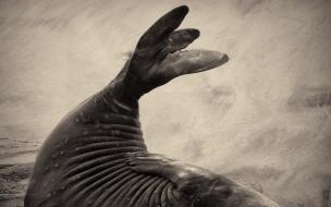 cola de foca