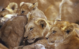 Fondo de pantalla leonas descansando