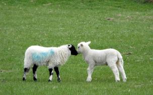 hermosas ovejitas cariñosas