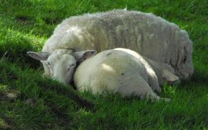 ovejitas dormidas
