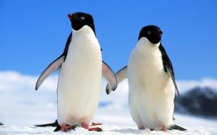 Fondo de pantalla pinguinos paseando