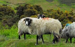 ovejas comiendo