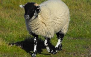 oveja caminando