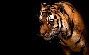 Fondo de pantalla tigre timido