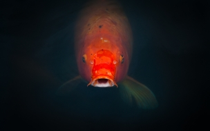 pez comiendo