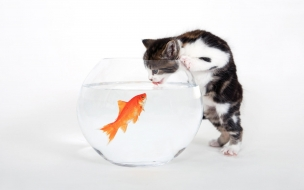 gato viendo un pez