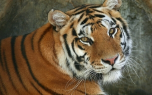 Fondo de pantalla tigre bonito