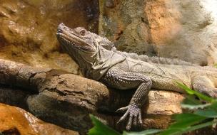 iguana en una roca