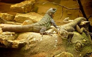 iguanas de desierto