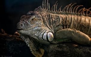 iguana enojada