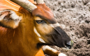 cabra acostada