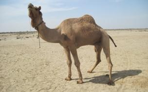 Camello cansado