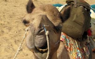 Camello cargado