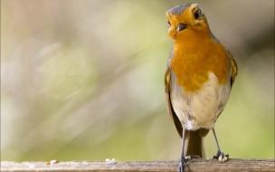 Robin Birds Animals Wallpaper
