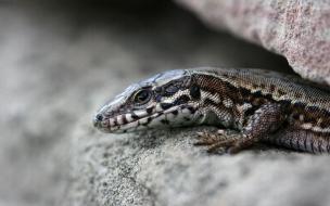 Fondos de lagartija bebe