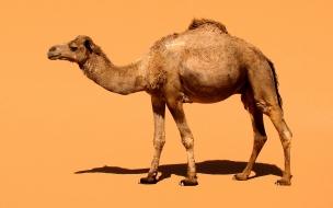 Camello solitario
