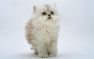 Fondo de pantalla gato caminando