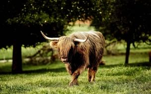 Bufalo caminando