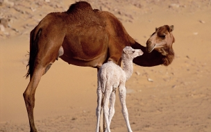 Camello con su hijo