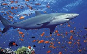 Tiburon hambriento