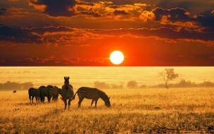 Animals Wild Zebra at Sunset Wallpapers