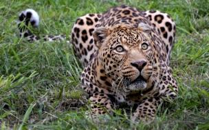 Fondo de pantalla jaguar cazando