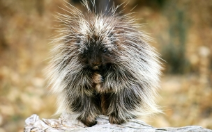 Baby Porcupine Exotic Animals