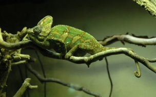 Chameleon (Exotic Animals Wallpapers)