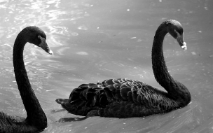 Black Swans Animals Wallpaper