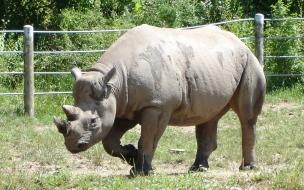 Rinoceronte caminando