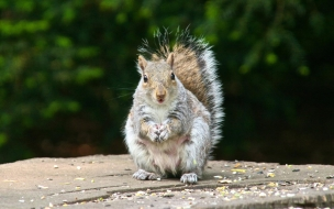 Animal squirrel backgrounds wallpapers