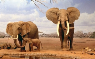 Elephants Animals Family Wallpaper