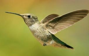 Fondo de pantalla colibri