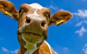 Cabeza de vaca graciosa