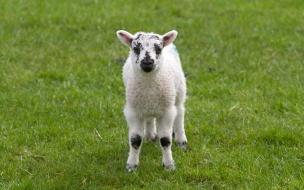 Fondo de pantalla ovejita