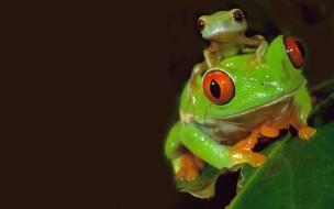 Fondo de pantalla hermosas ranas