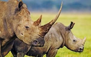 Fondo de pantalla rinocerontes
